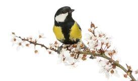男性伟大的山雀在一个开花的分支,帕鲁斯少校栖息 免版税库存照片