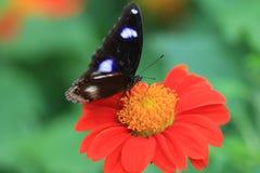 男性伟大的Eggfly蝴蝶Hypolimnas bolina 免版税库存图片