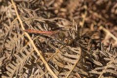 男性共同的突进者蜻蜓 免版税库存图片