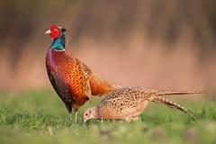 男性共同的野鸡,雉属colchicus,显示在春天交配季节的女性前面 库存图片