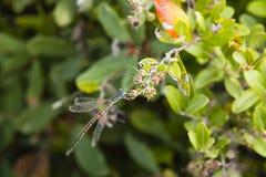 男性共同的Spreadwing蜻蜓 库存图片