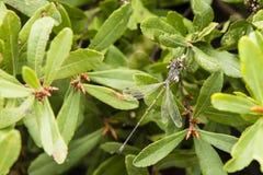 男性共同的Spreadwing蜻蜓 库存照片