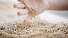男性农夫递倾吐的麦芽或谷粒 影视素材