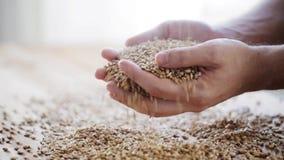 男性农夫递拿着麦芽或谷粒 股票录像