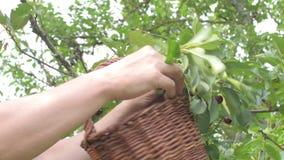 男性农夫递采摘欧洲酸樱桃 中部变老了会集在酸樱桃树的人欧洲酸樱桃 成熟的人 股票视频