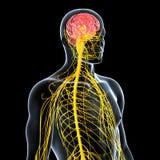 男性前方视图神经系统  免版税库存照片