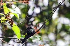 男性古巴绿宝石是蜂鸟- Peninsula de Zapata国家公园,古巴的种类 免版税库存照片