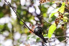 男性古巴绿宝石是蜂鸟- Peninsula de Zapata国家公园,古巴的种类 免版税库存图片