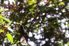 男性古巴绿宝石是蜂鸟- Peninsula de Zapata国家公园,古巴的种类 库存图片