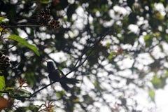 男性古巴绿宝石是蜂鸟- Peninsula de Zapata国家公园,古巴的种类 库存照片