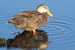 男性呈杂色的鸭子在佛罗里达沼泽地 免版税库存照片