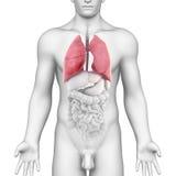 男性呼吸系统的肺解剖学 图库摄影