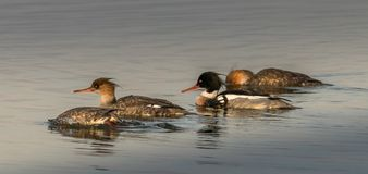 男性和女性秋沙鸭游泳 免版税库存图片