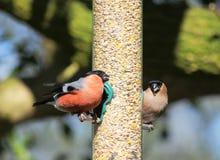男性和女性红腹灰雀pyrrhula pyrrhula 库存图片
