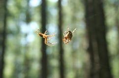 男性和女性蜘蛛 库存照片