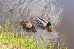 男性和女性野鸭鸭子游泳在池塘,当寻找食物时 免版税库存图片
