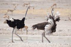 男性和女性驼鸟赛跑 免版税库存图片