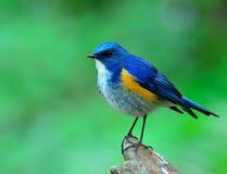 男性喜马拉雅Bluetail (tarsiger rufilatus)美丽  免版税库存图片