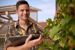 男性在一个屋顶庭院的花匠评估的蛇麻草有机啤酒生产的 库存图片