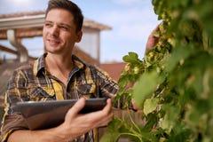 男性在一个屋顶庭院的花匠评估的蛇麻草有机啤酒生产的 免版税图库摄影