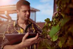 男性在一个屋顶庭院的花匠评估的蛇麻草有机啤酒生产的 免版税库存图片