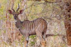 男性在狂放的一点Kudu 免版税库存图片