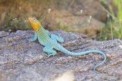 男性在繁殖的季节的抓住衣领口的蜥蜴 免版税库存图片