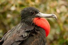 男性壮观的Frigatebird 库存照片