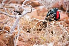 男性壮观的frigatebird 免版税库存图片