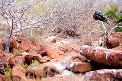 男性壮观的Frigatebird 免版税库存照片