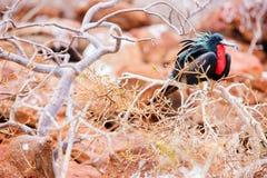 男性壮观的Frigatebird 图库摄影