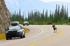 男性大角野绵羊穿过在盲目的角落的一条繁忙的高速公路 库存图片