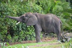 男性大象 免版税库存照片