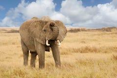 男性大象 库存照片