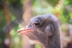 男性头非洲驼鸟(非洲鸵鸟类骆驼属)本质上,  免版税库存照片