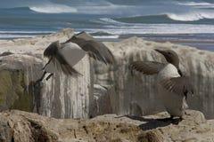 男性女性海雀科的鸟 免版税图库摄影