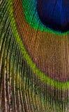 男性孔雀关闭五颜六色的用羽毛装饰的尾巴垂直的构成的 免版税库存照片