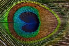 男性孔雀关闭五颜六色的用羽毛装饰的尾巴水平的 免版税图库摄影
