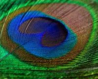 男性孔雀关闭五颜六色的用羽毛装饰的尾巴  免版税库存照片