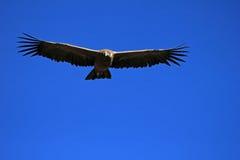 年轻男性安第斯秃鹰飞行关闭 免版税图库摄影
