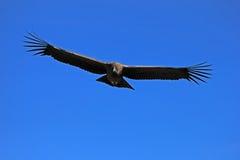 年轻男性安第斯秃鹰飞行关闭 库存图片