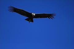 男性安第斯秃鹰飞行关闭 免版税图库摄影