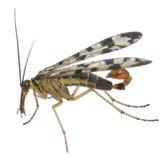 男性成人scorpionfly, Panorpa在白色背景隔绝了 库存图片