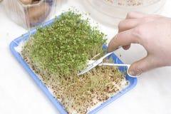 男性手切开剪刀用年轻水芹新芽 在新芽的发芽种子在塑胶容器的背景中 库存图片