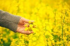 男性手感人的柔和的开花的油菜籽庄稼 免版税图库摄影