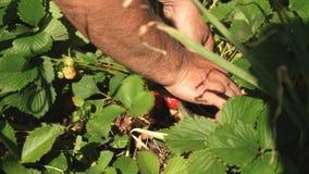 男性手显示在灌木的红色草莓 r 花匠的手显示草莓  股票视频