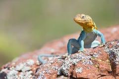 男性抓住衣领口的蜥蜴 库存图片