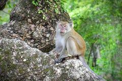 男性指道者野生猴子 图库摄影
