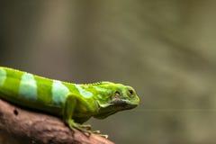 男性斐济结合了鬣鳞蜥,Brachylophus fasciatus,自然本底 免版税库存图片
