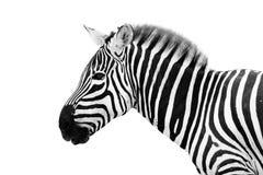 男性斑马头 免版税库存图片